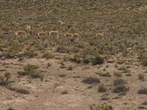 Wild Herds of Vicuñas can be seen on your way to Colca