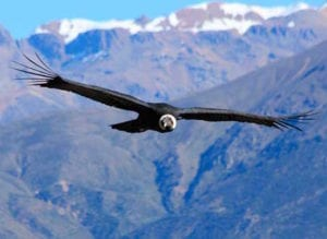 See Condors Fly Around You at Colca Canyon